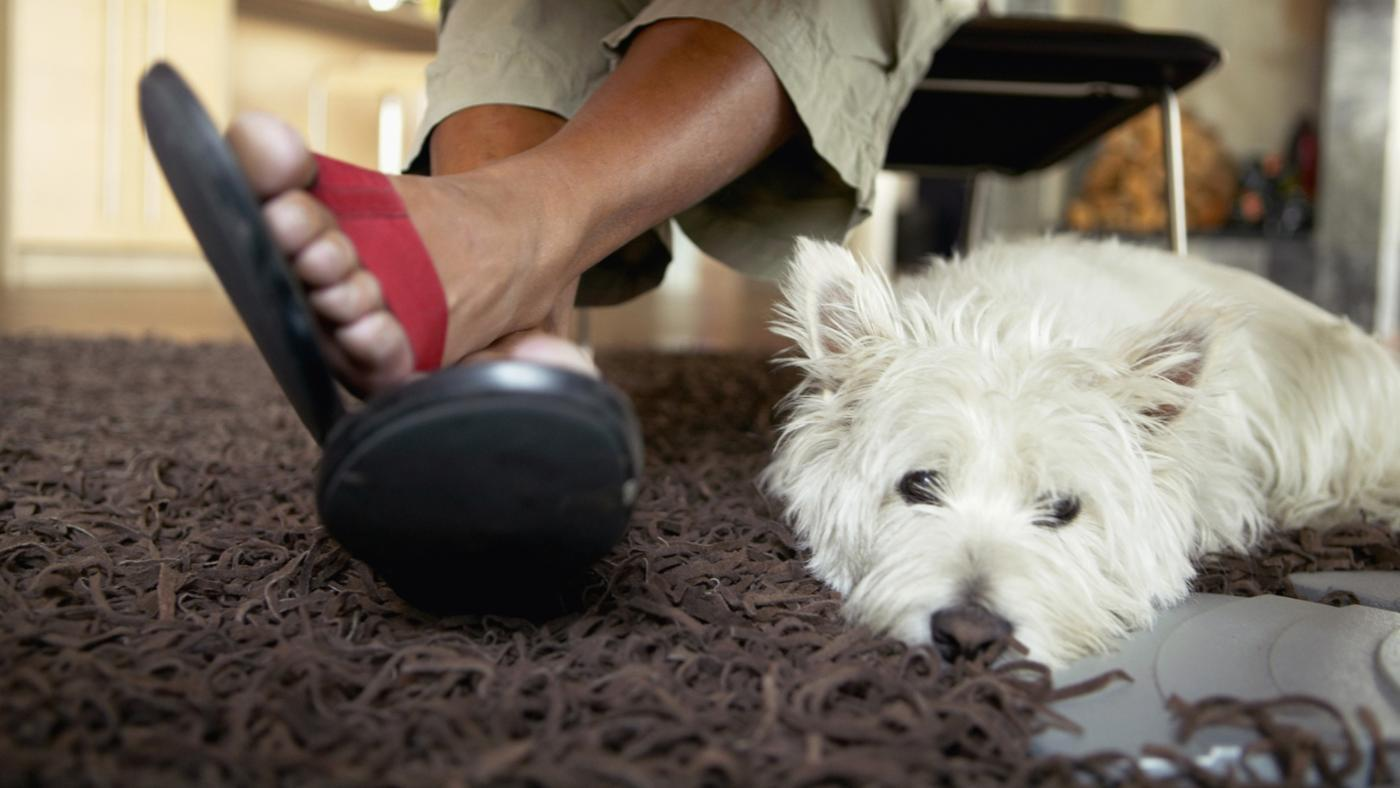 What Are Some Characteristics of a Miniature Scottish Terrier?