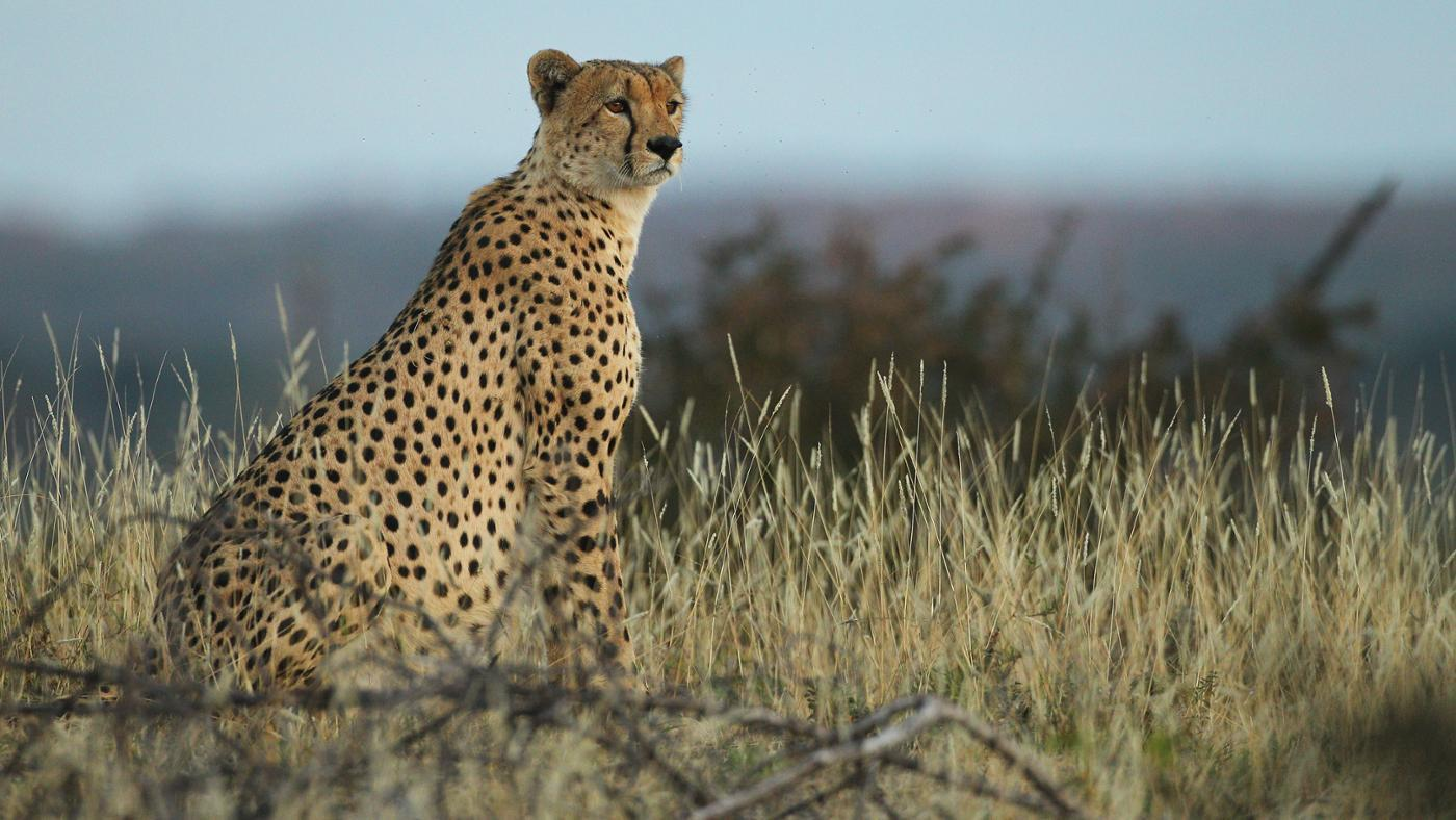 What Are Some Cheetah Facts for Kids?
