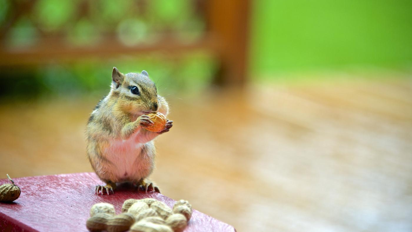 Are Chipmunks Nocturnal?