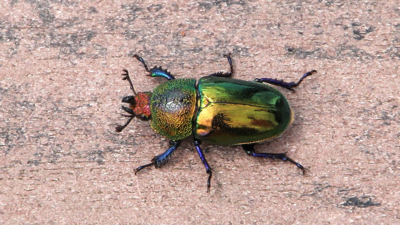Where Do Christmas Beetles Live?