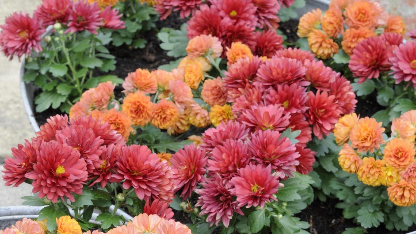 When Do Chrysanthemums Bloom?