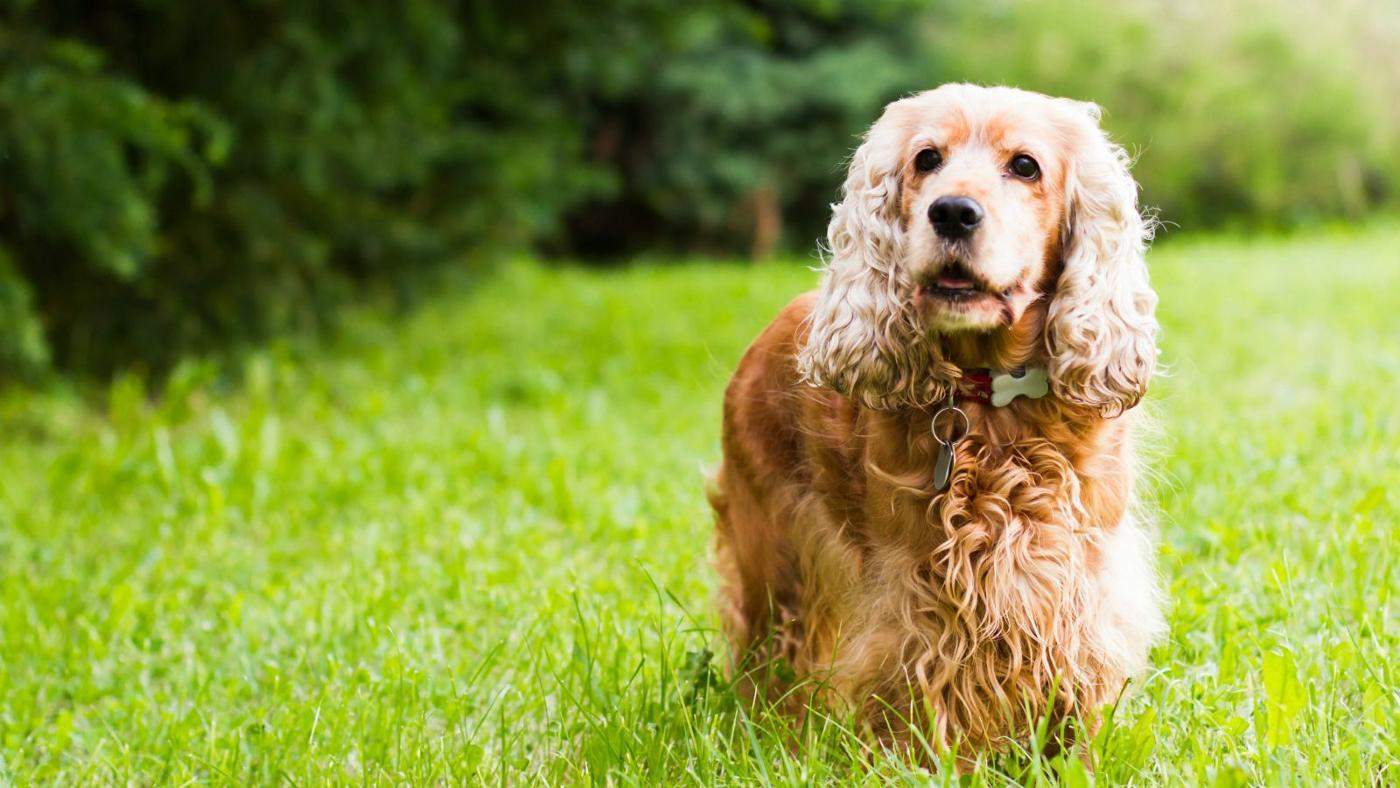 What Are Cocker Spaniels?