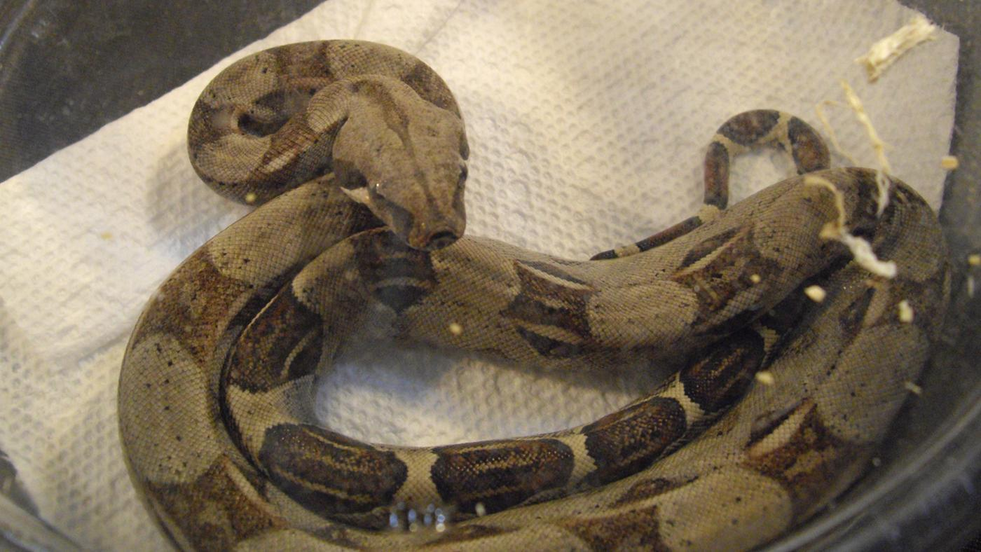 What Is a Colombian Red-Tail Boa?