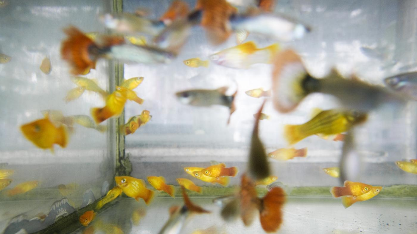 What Are Some Compatible Fish for Guppies?