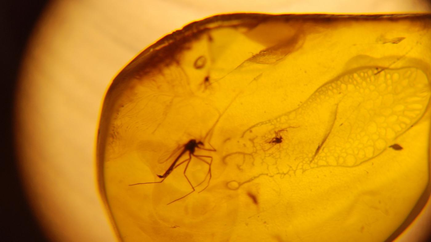 Could a Dinosaur Be Cloned From DNA Preserved in Amber?