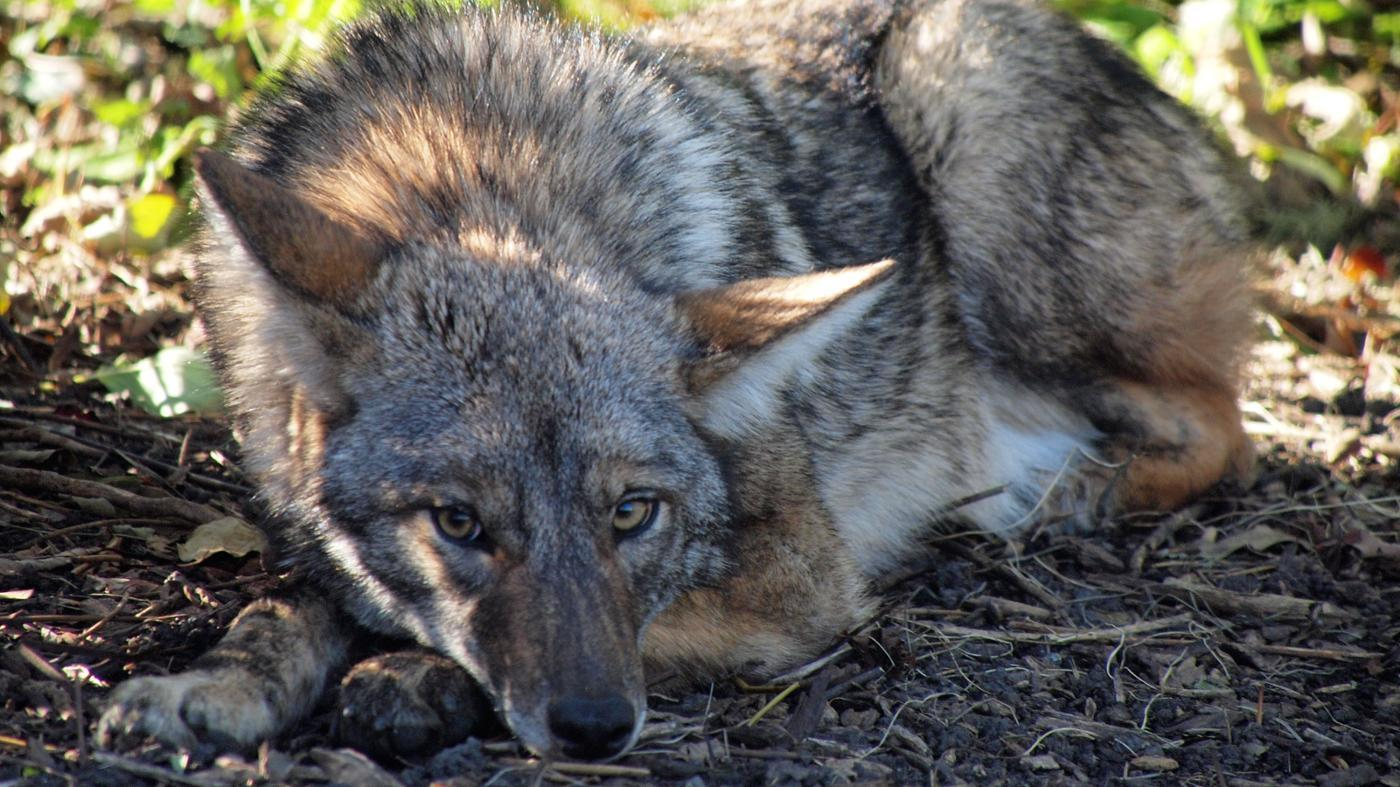 Where Do Coyotes Sleep?