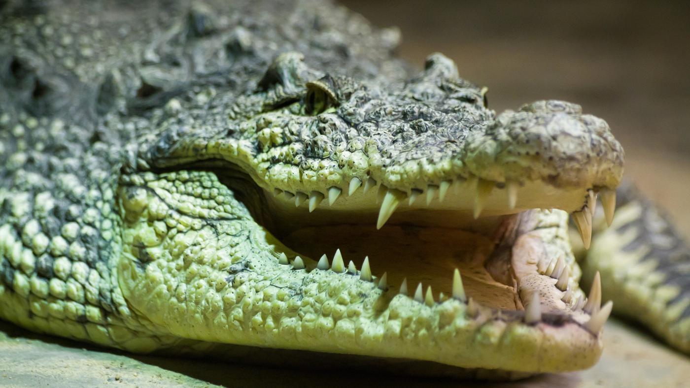 What Do Crocodile Eat?