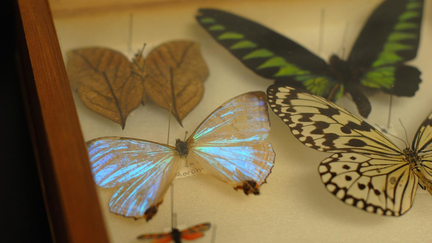 How Are Dead Butterflies Preserved?