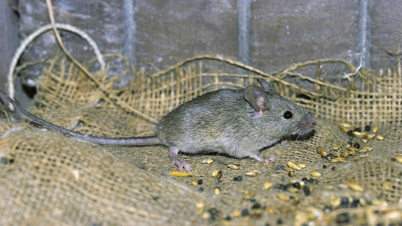 How Do You Find a Dead Mouse in a Wall?