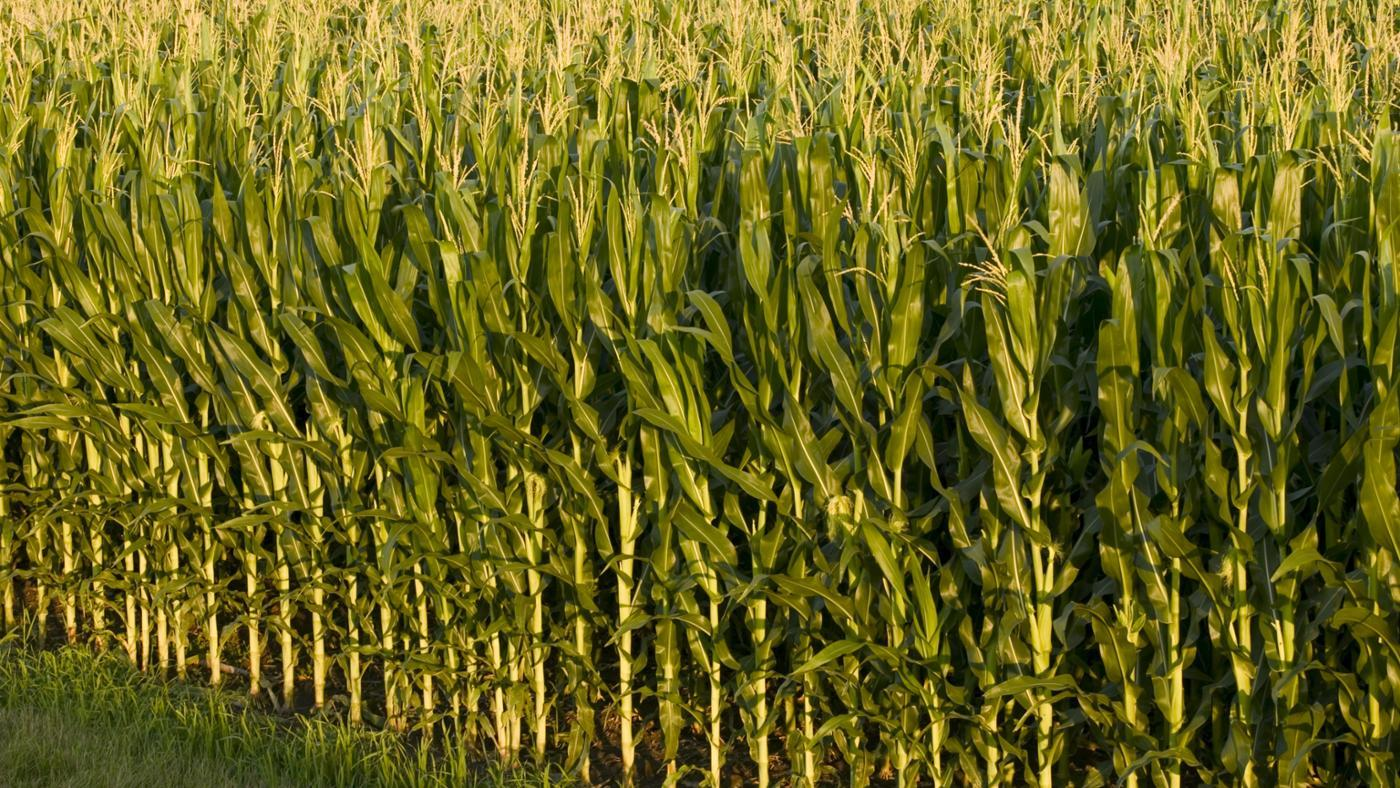 What Is the Difference Between Corn and Maize?