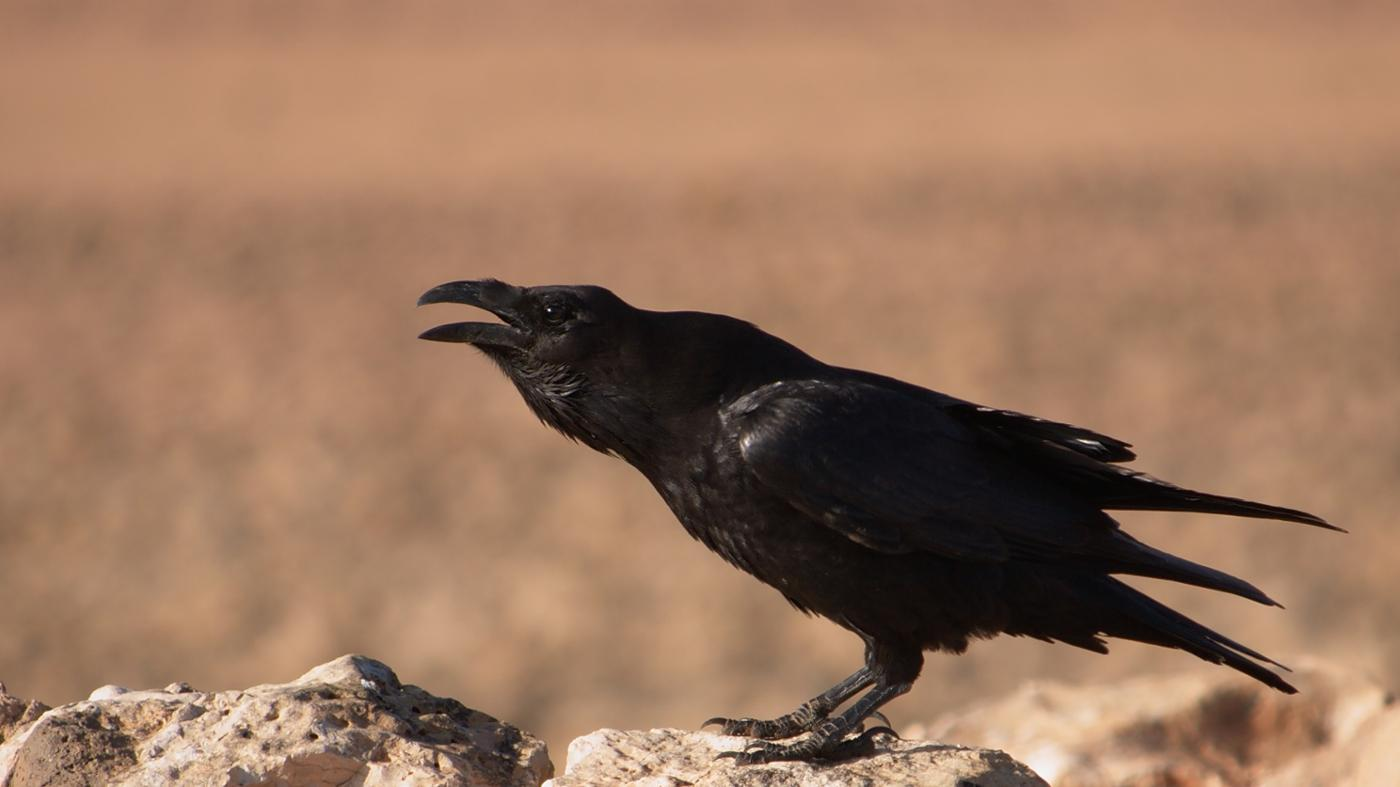 What Is the Difference Between a Raven and a Crow?