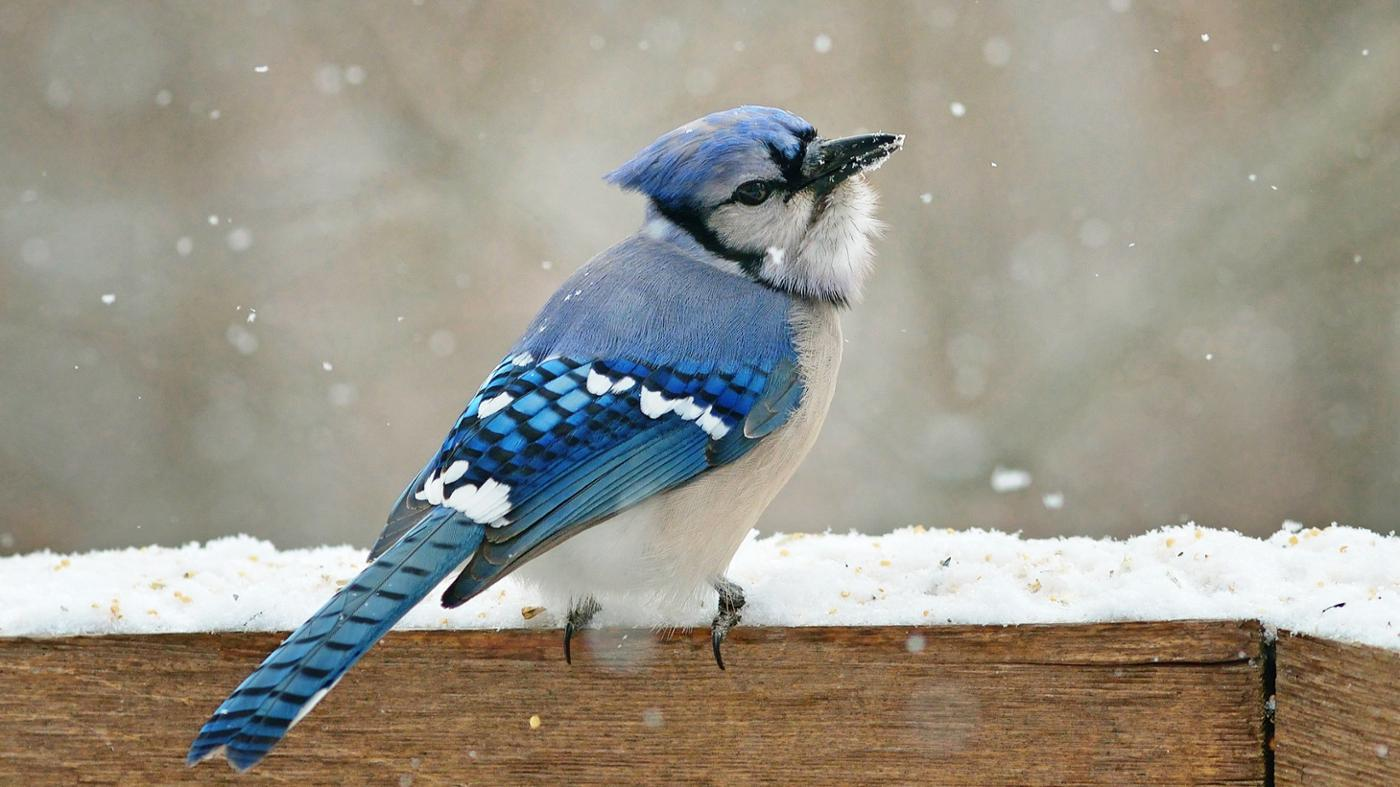 What Are the Differences Between Male and Female Blue Jays?