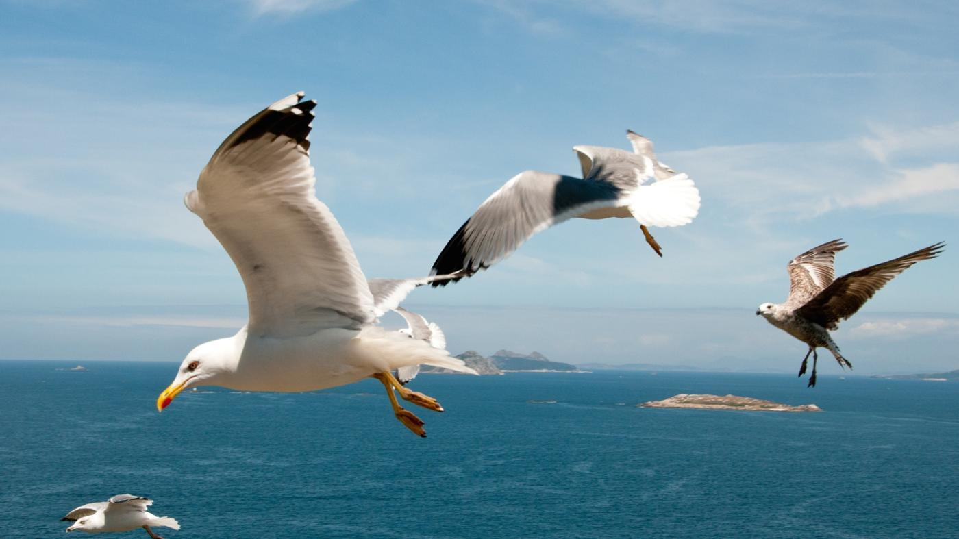 What Are the Different Kinds of Seagulls?
