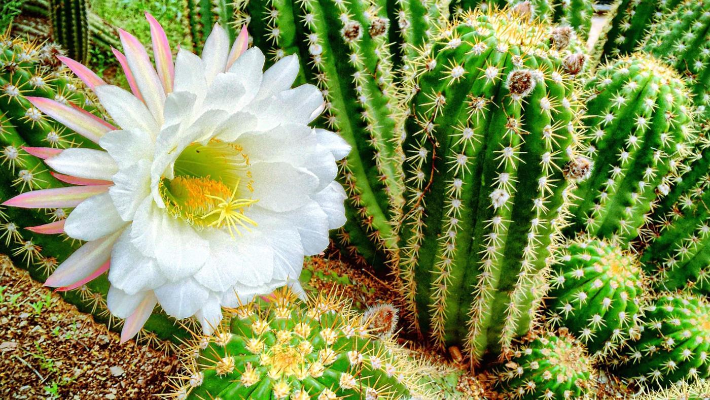 What Are the Different Types of Flowering Cactus Plants?
