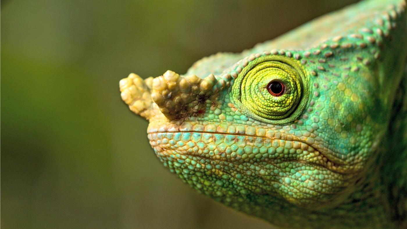 Do Chameleons Bite?