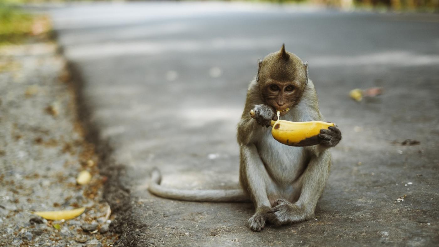 Do Monkeys Eat Meat?