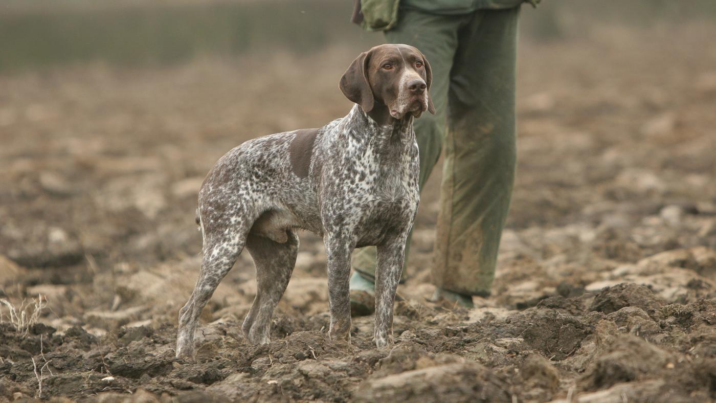 What Dog Breeds Make Good Hog Hunting Dogs?