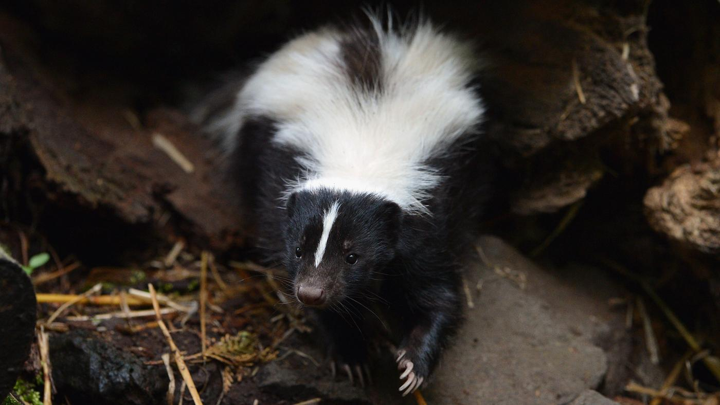 What Eats Skunks?