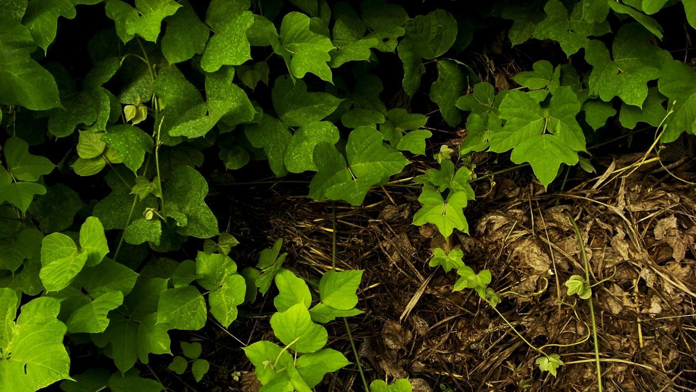 What Effects Does Kudzu Have on the Ecosystem?
