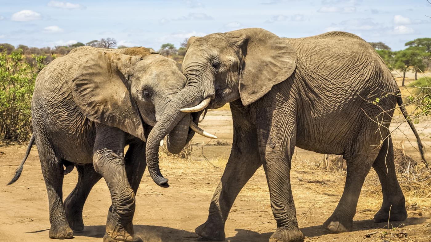 How Do Elephants Mate?