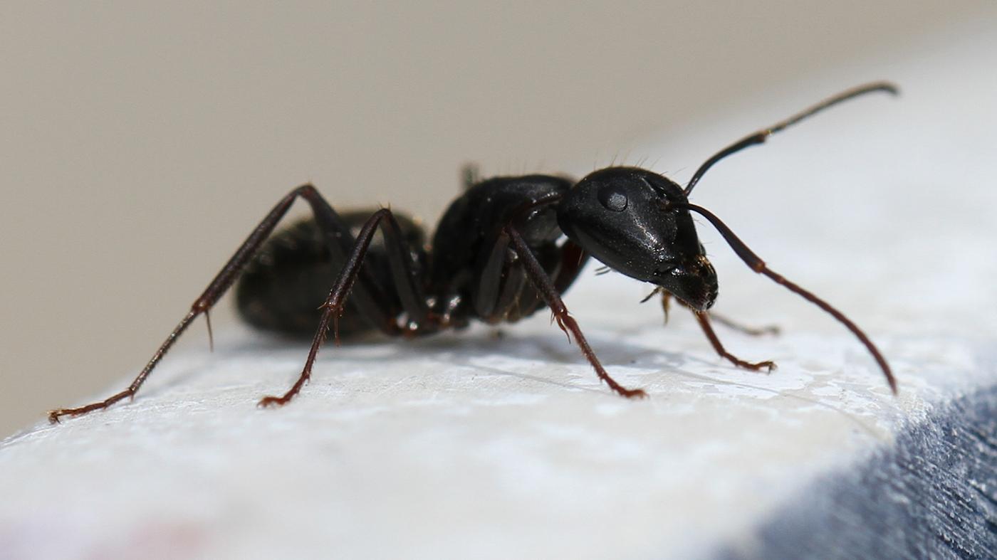 How Do You Exterminate Carpenter Ants?