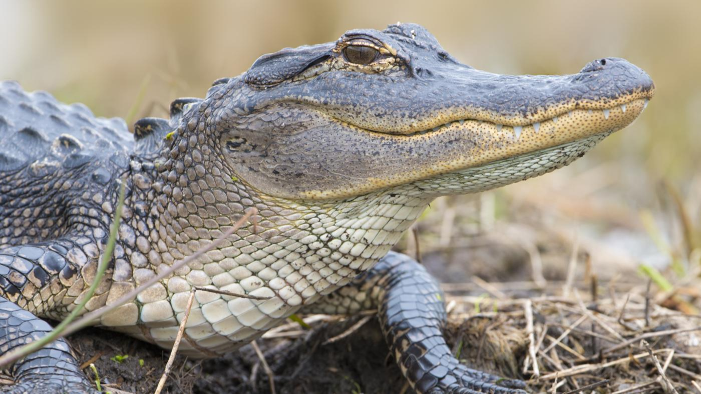 How Fast Can Alligators Run on Land?