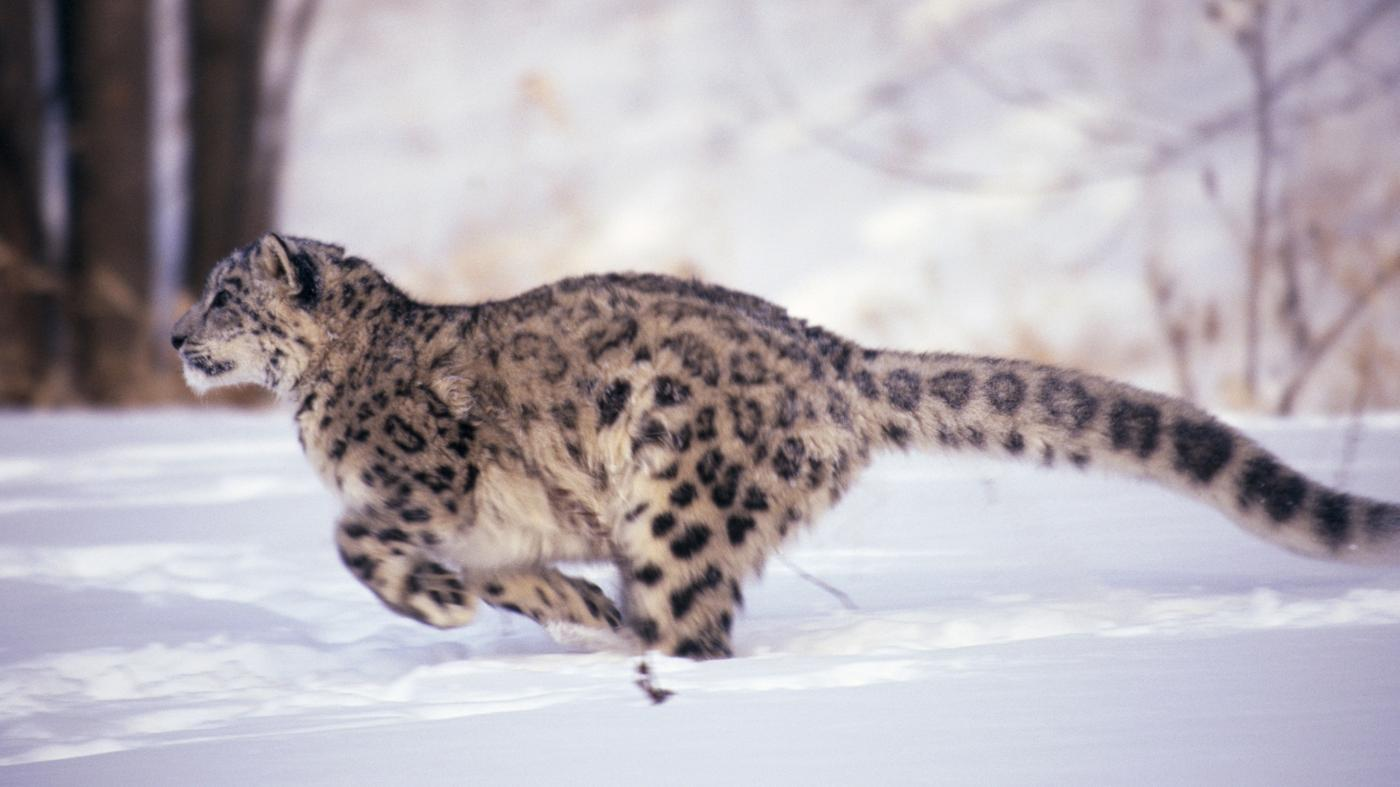How Fast Can a Leopard Run?