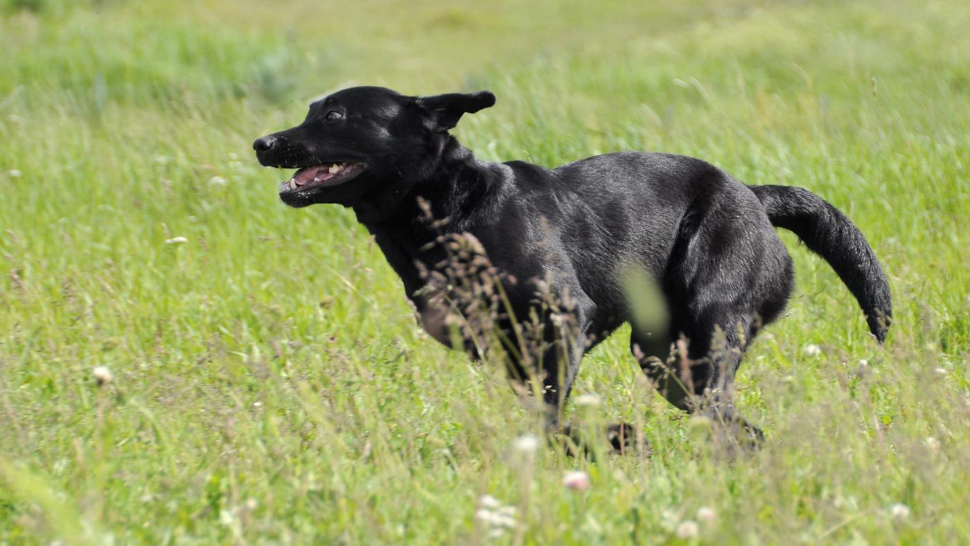 How Fast Do Labrador Retrievers Run?