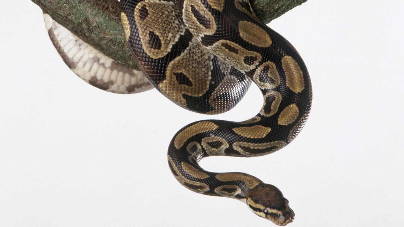 How Often Do You Feed a Ball Python?