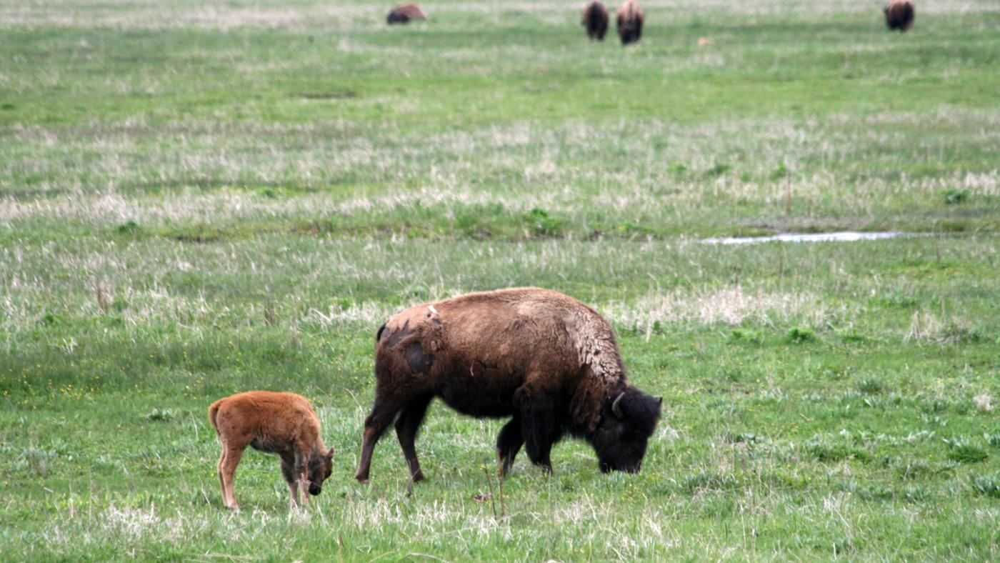 What Is a Female Buffalo Called?