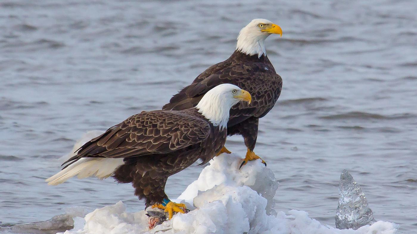 What Is a Female Eagle Called?