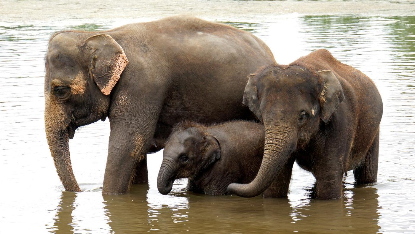 What Are Female Elephants Called?