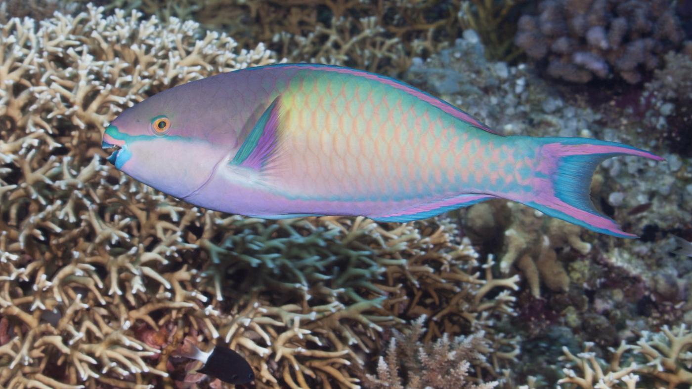 What Fish Eat Parrotfish?