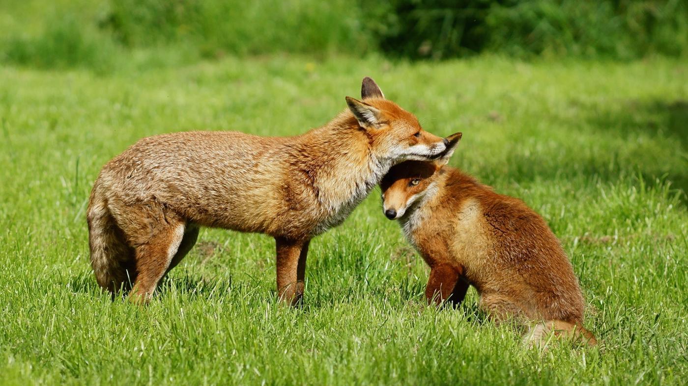 Where Does a Fox Live?