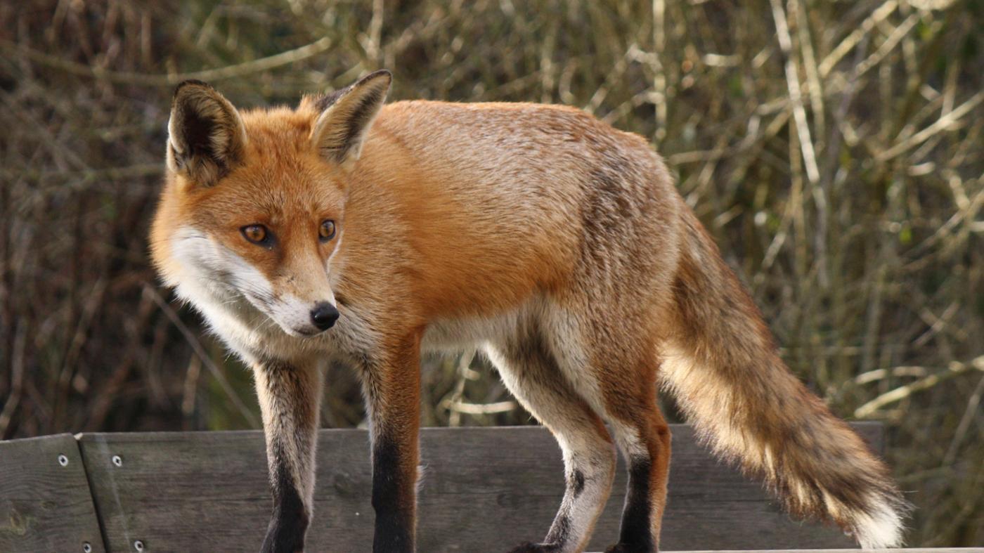 What Are a Fox's Natural Predators?