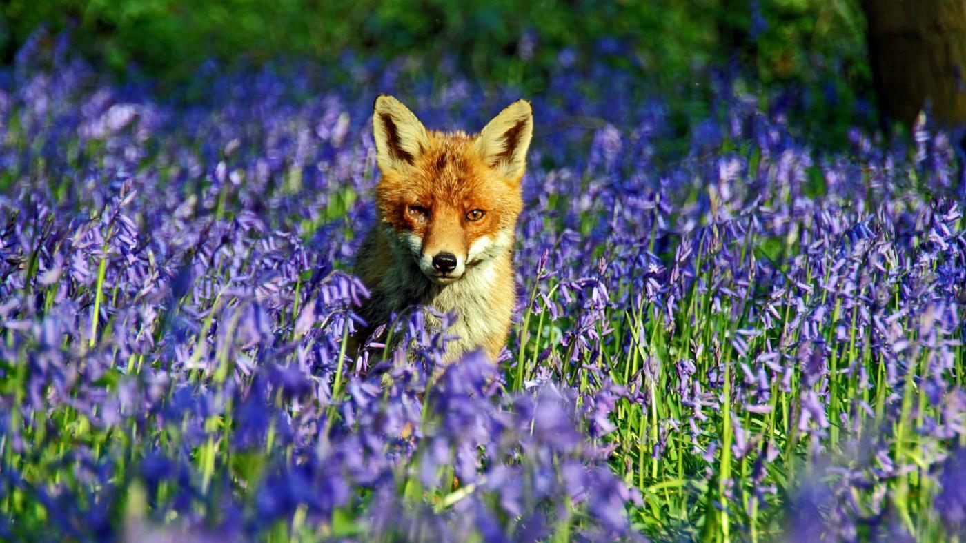 Where Do Foxes Live?