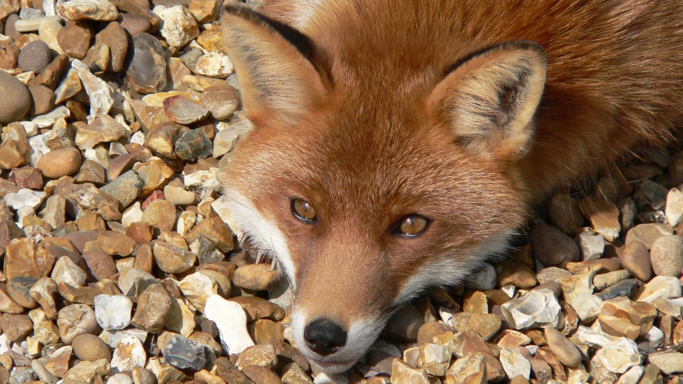 Where Do Foxes Sleep?