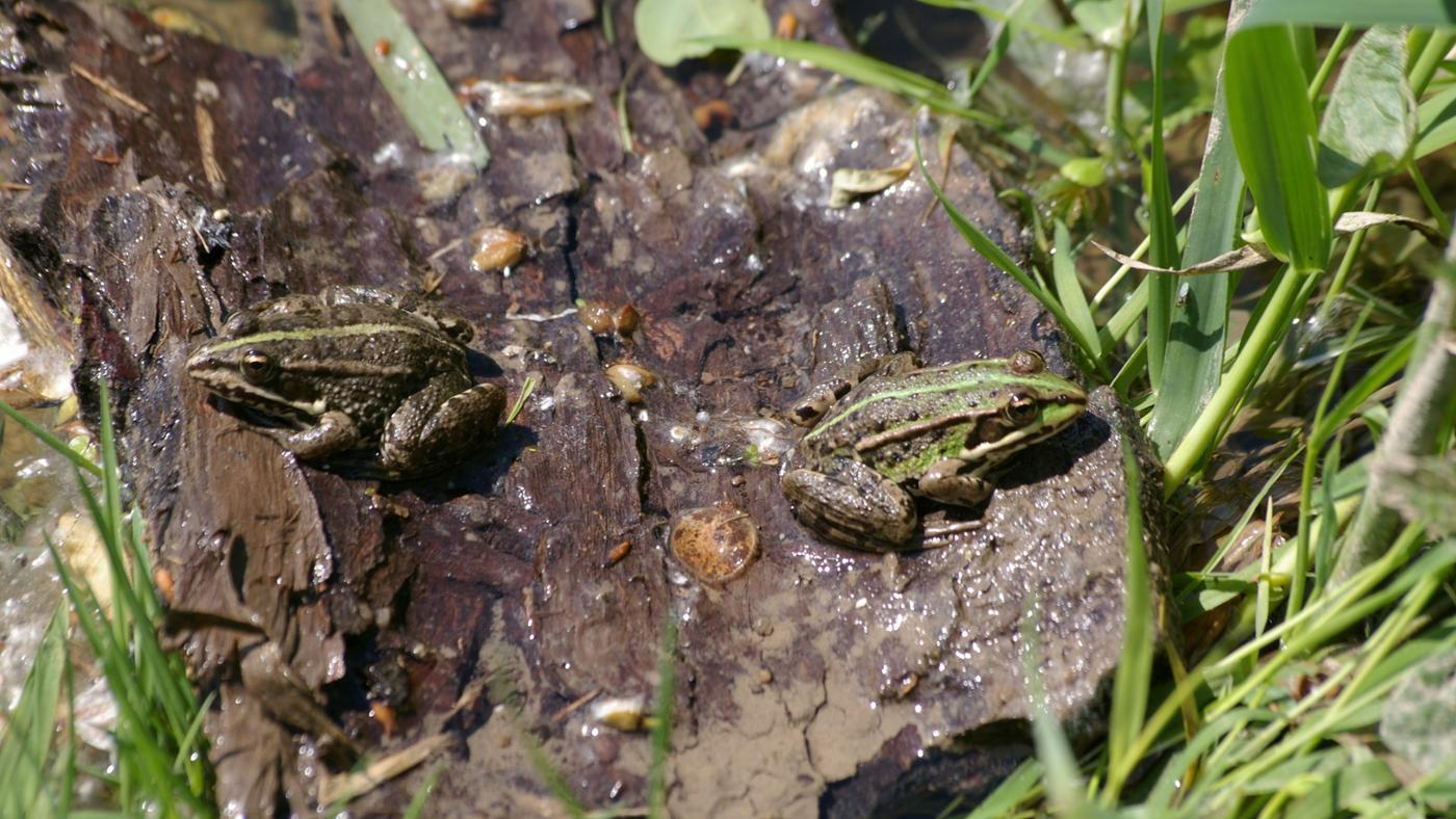 How Do Frogs Mate?