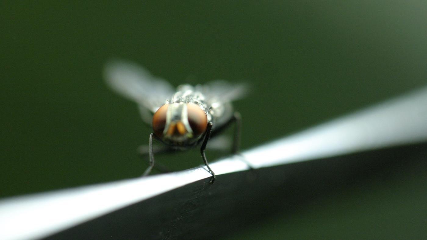 Do Fruit Flies Bite People?