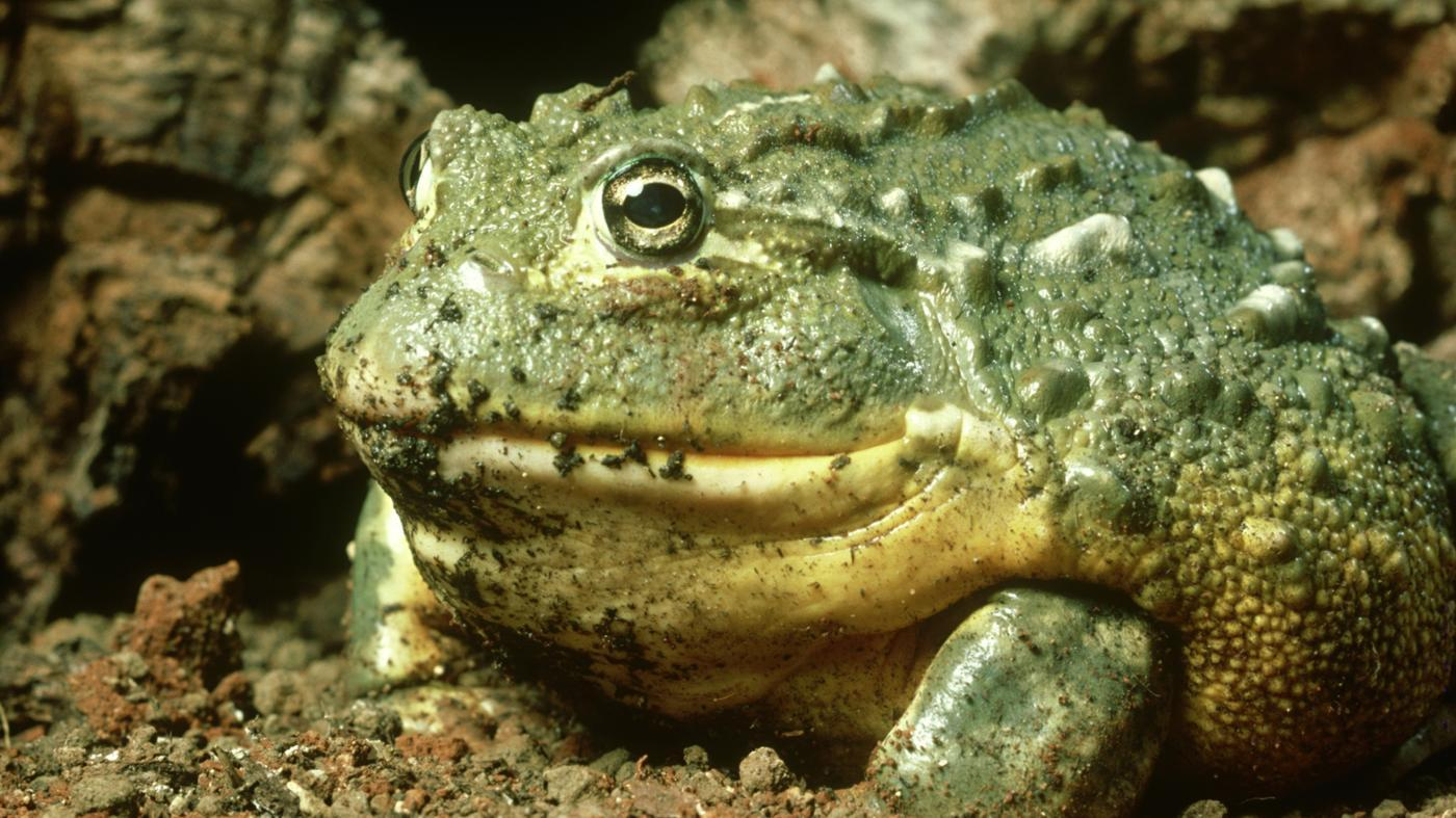 What Is the Function of the Fat Bodies in Frogs?