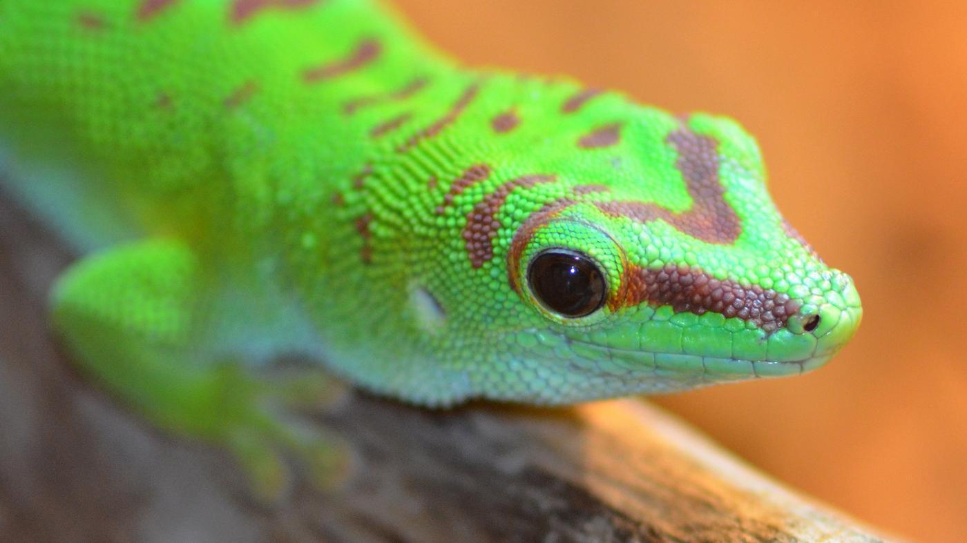 What Do Geckos Eat?