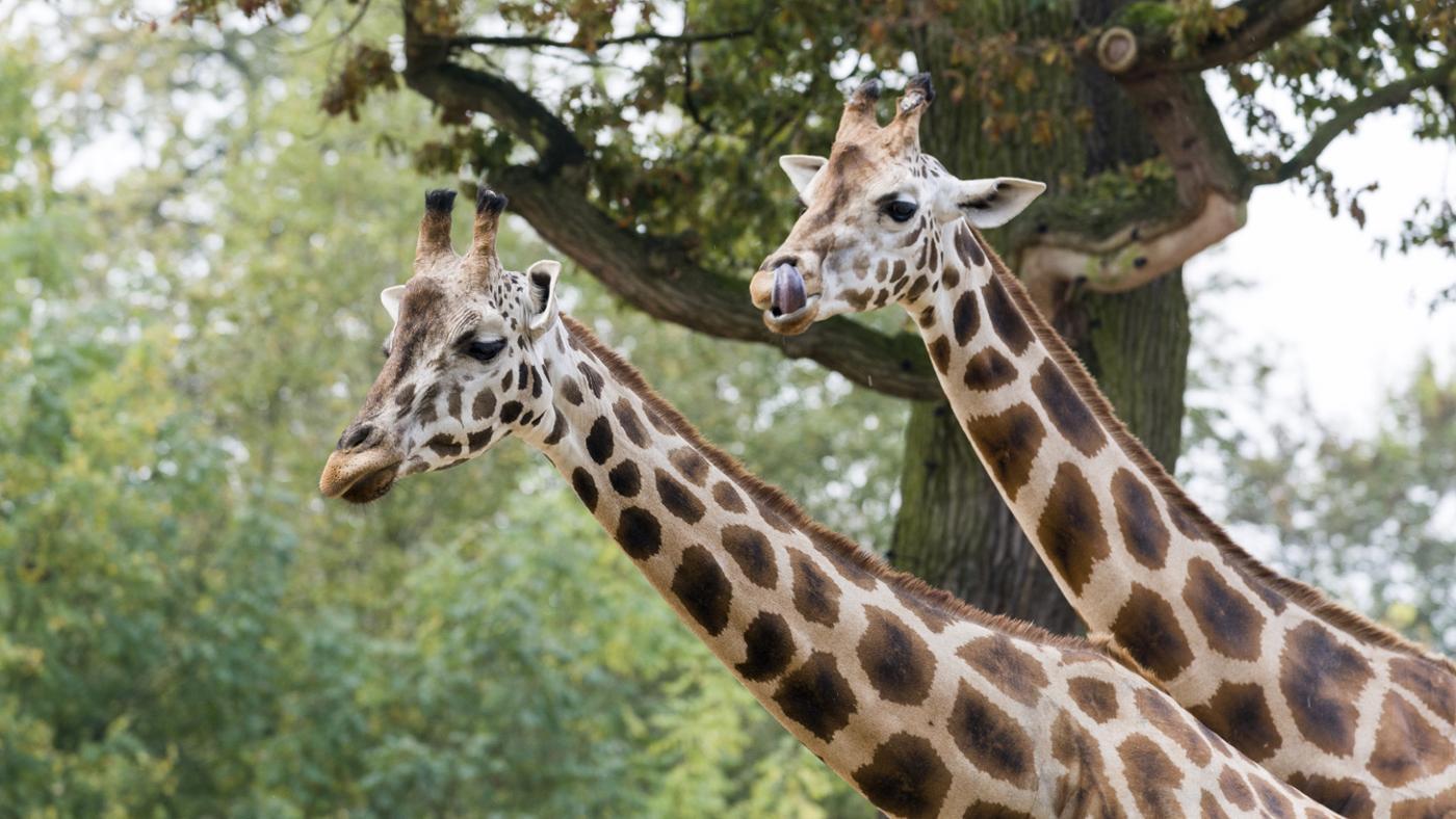 Where Do Giraffes Live?
