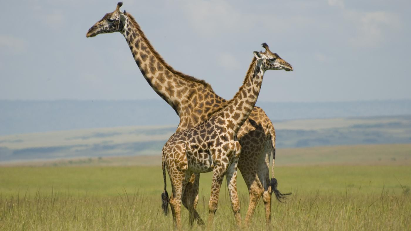 Why Do Giraffes Sleep so Little?