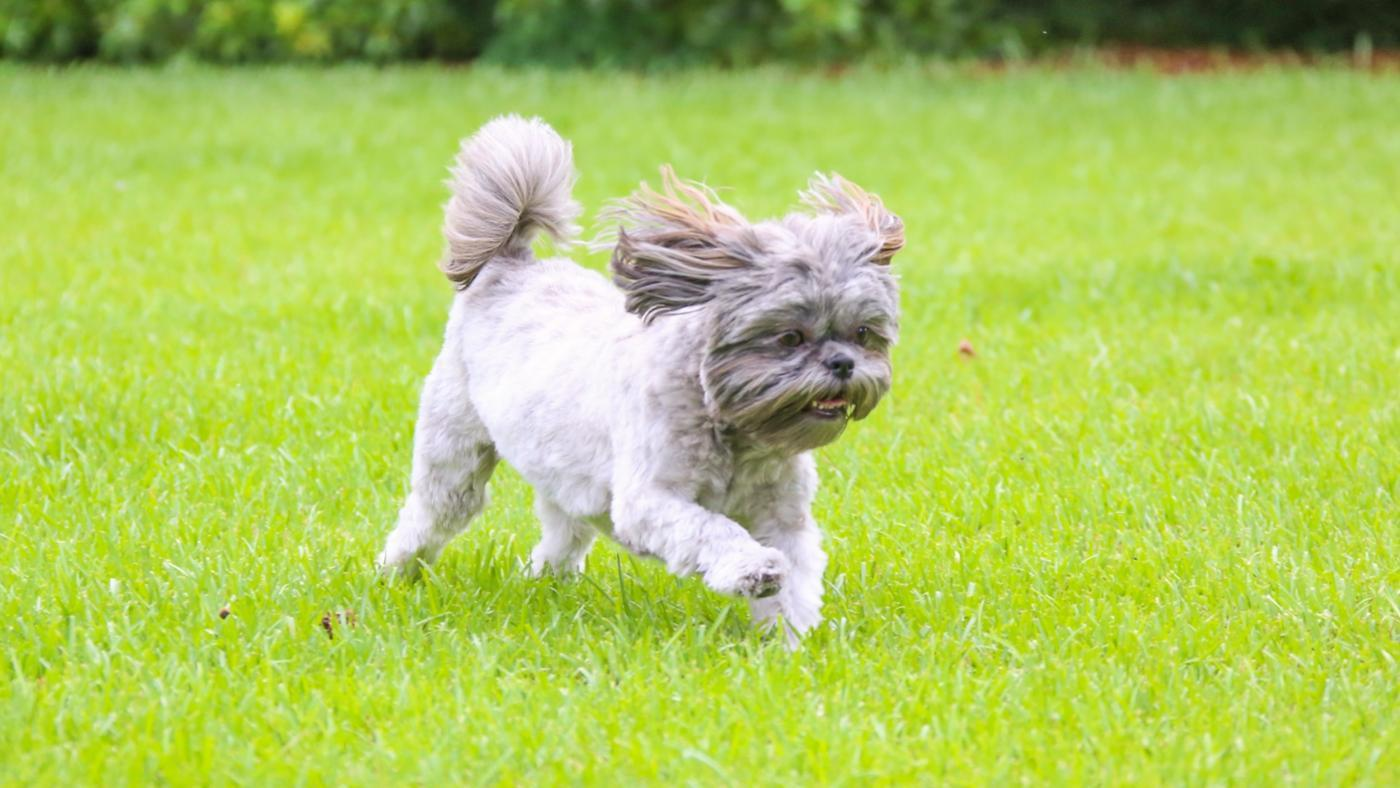 What Is a Good Name for My Male Shih Tzu?