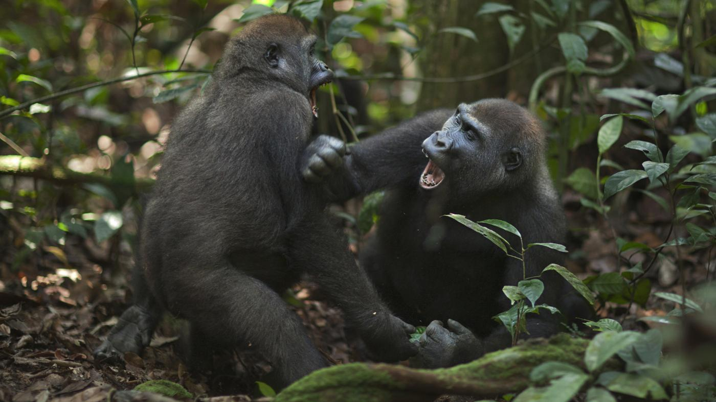 How Do Gorillas Attack?