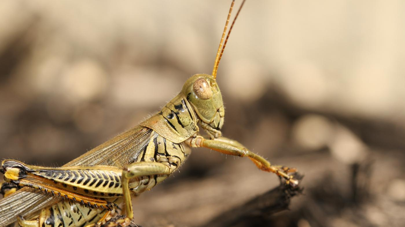 Do Grasshoppers Bite?