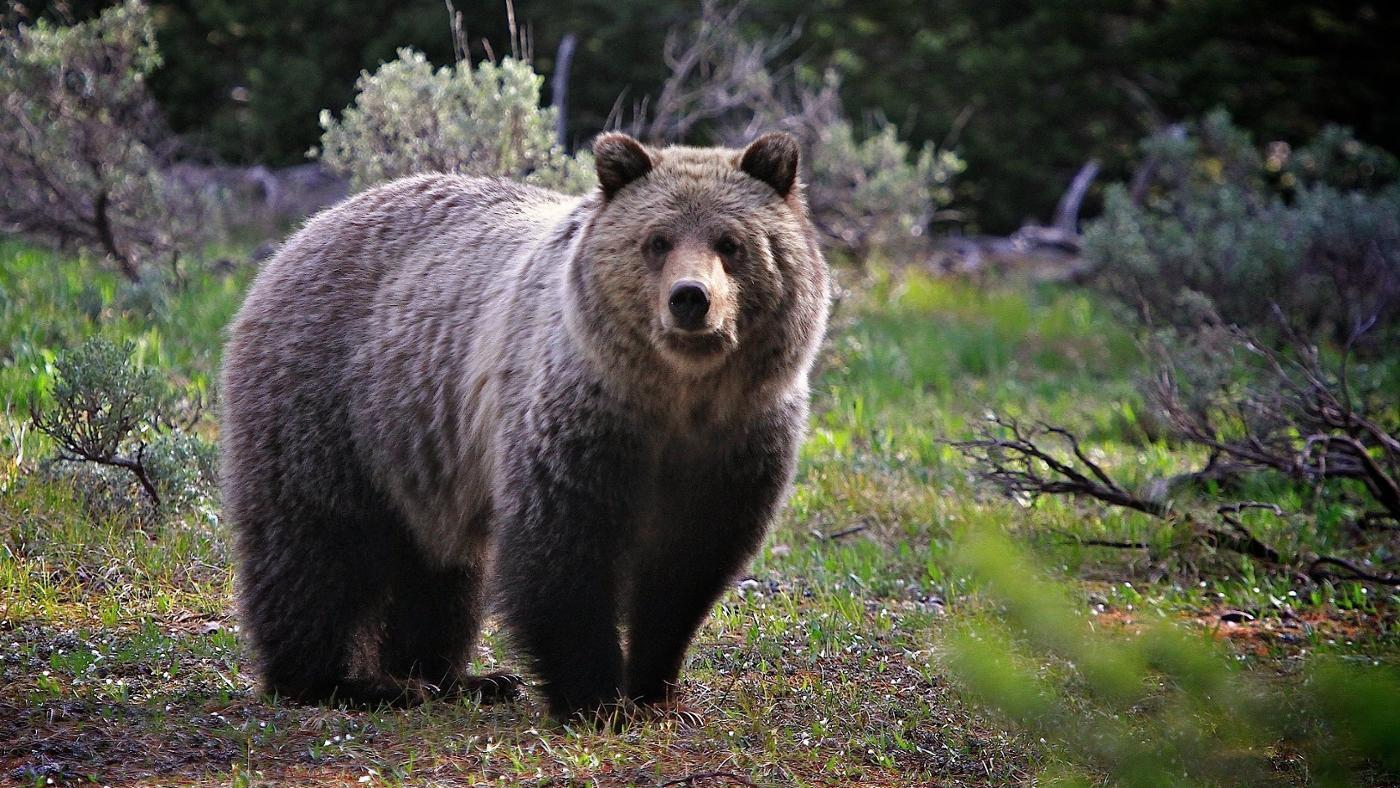 Do Grizzly Bears Hibernate?