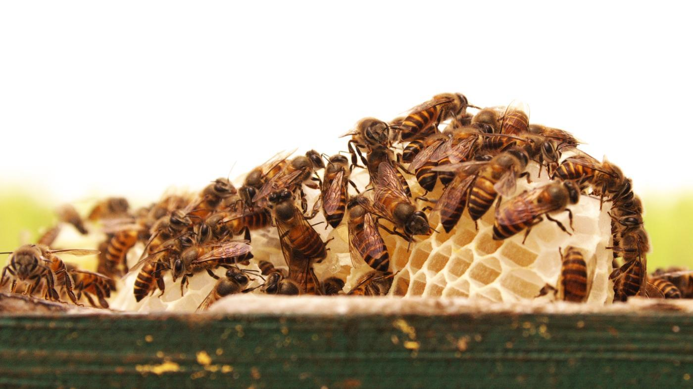 What Is a Group of Bees Called?
