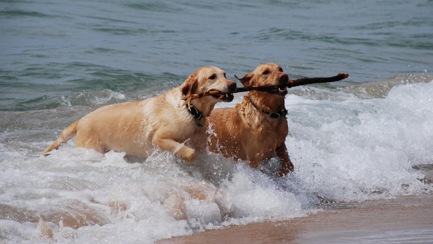 What Is the Growth Rate of a Labrador Retriever?