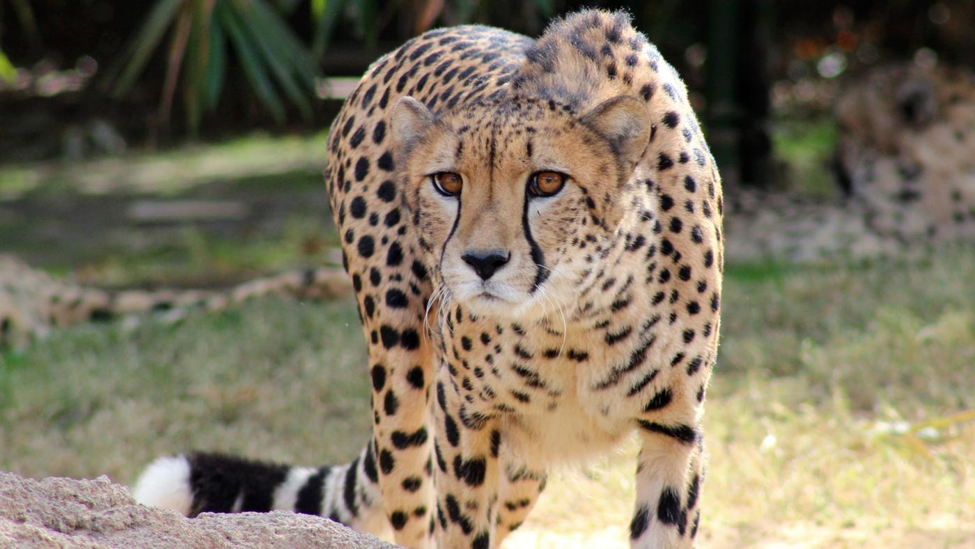 What Will Happen If the Cheetah Becomes Extinct?
